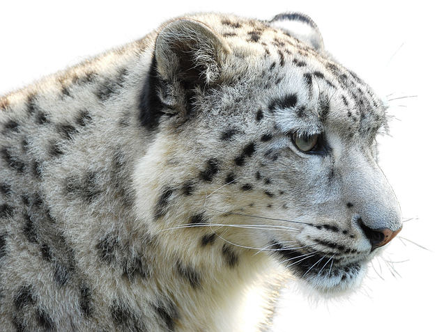 snow leopard looking the right way_new